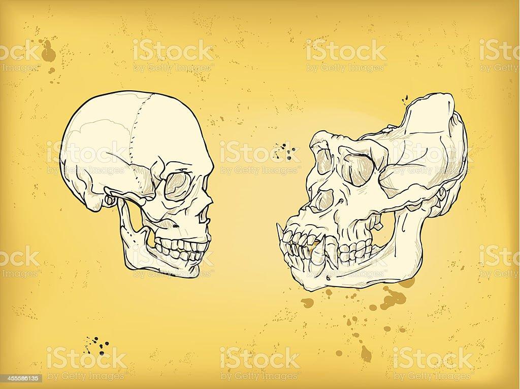 Menschlicher Schädel Und Gorilla Stock Vektor Art und mehr Bilder ...