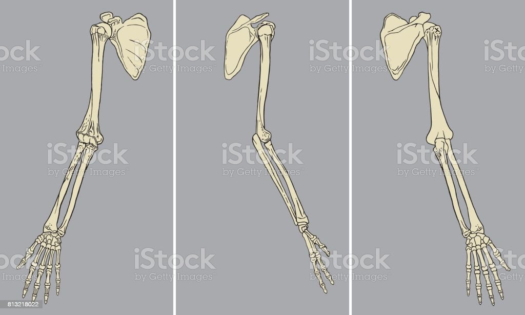 Human Arm Skeletal Anatomy Pack vector art illustration