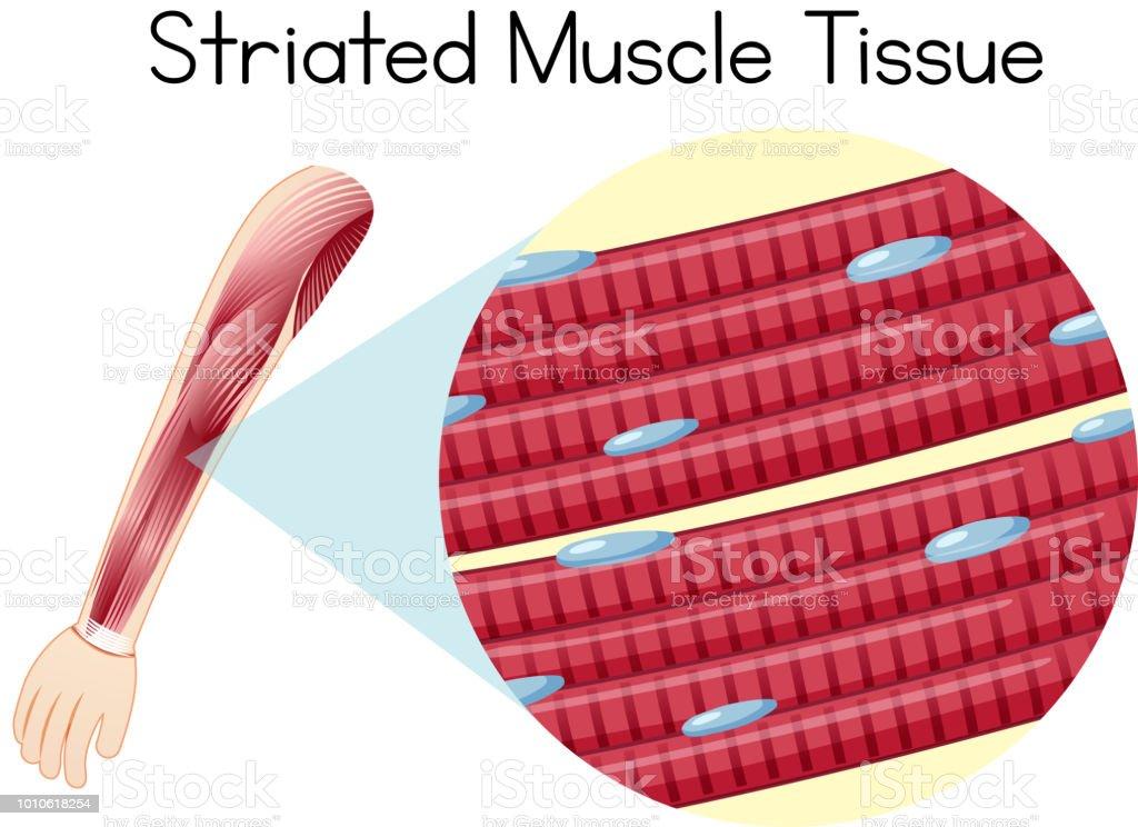 Ilustración de Tejido Muscular Estriado De Arn Humano y más banco de ...