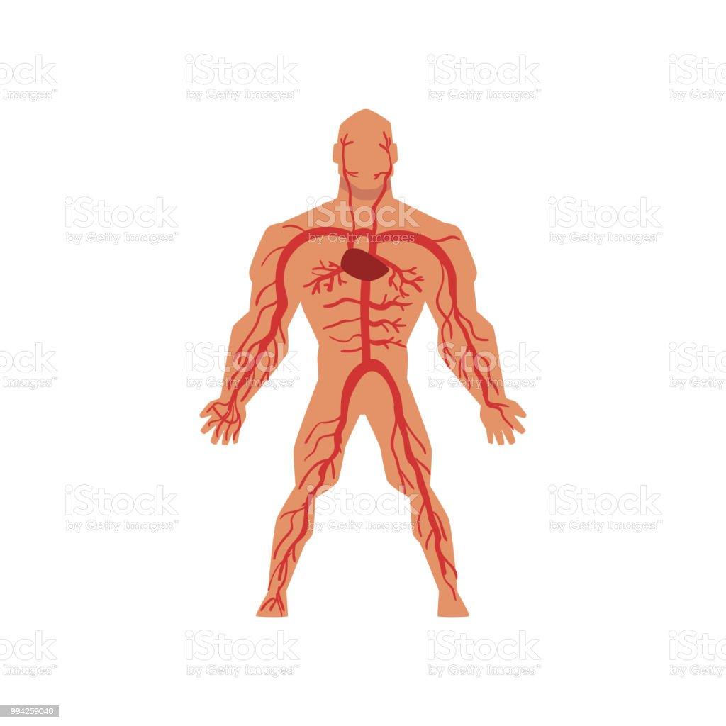 Menschlichen Arteriellen Kreislauf Anatomie Des Menschlichen Körpers ...