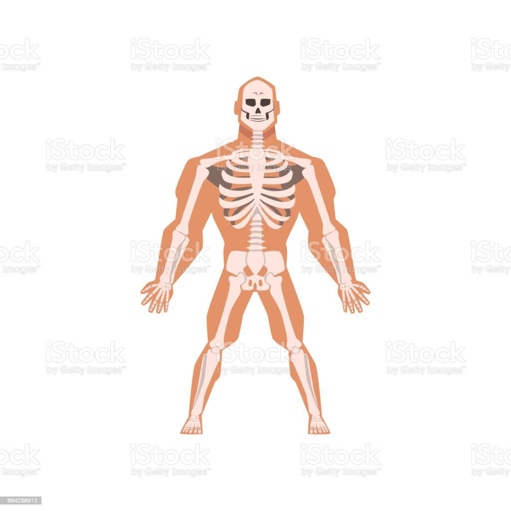 Ilustración de Biológico Humana Del Sistema Esquelético Anatomía Del ...