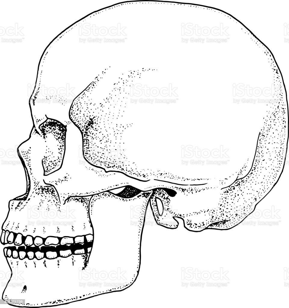Human Biology Anatomy Illustration Engraved Hand Drawn In Old Sketch
