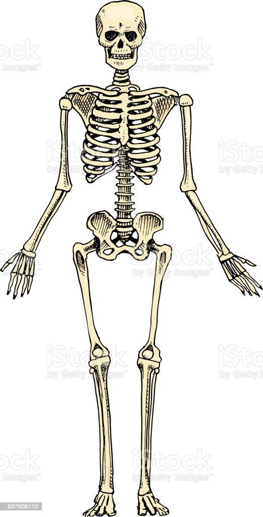Ilustración de Biología Humana Ilustración De La Anatomía Grabado A ...