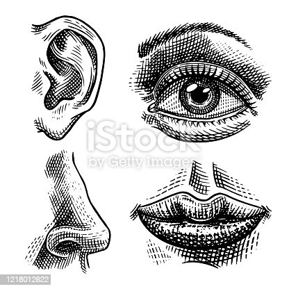 Human biology, organs anatomy illustration. Engraved hand drawn in old sketch and vintage style. Face detailed kiss or lips and ear, eye or view, look with nose