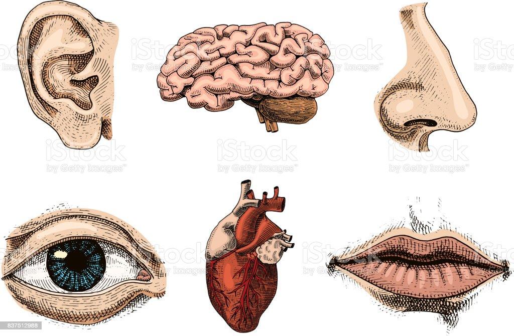 Ilustración de Biología Humana Ilustración De Anatomía De Los ...