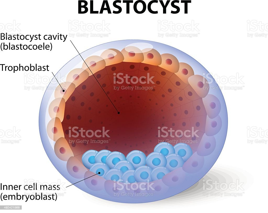 Human blastocyst, with inner cell mass vector art illustration