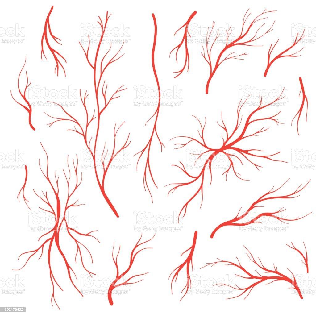 Human blood veins and arteries vector set