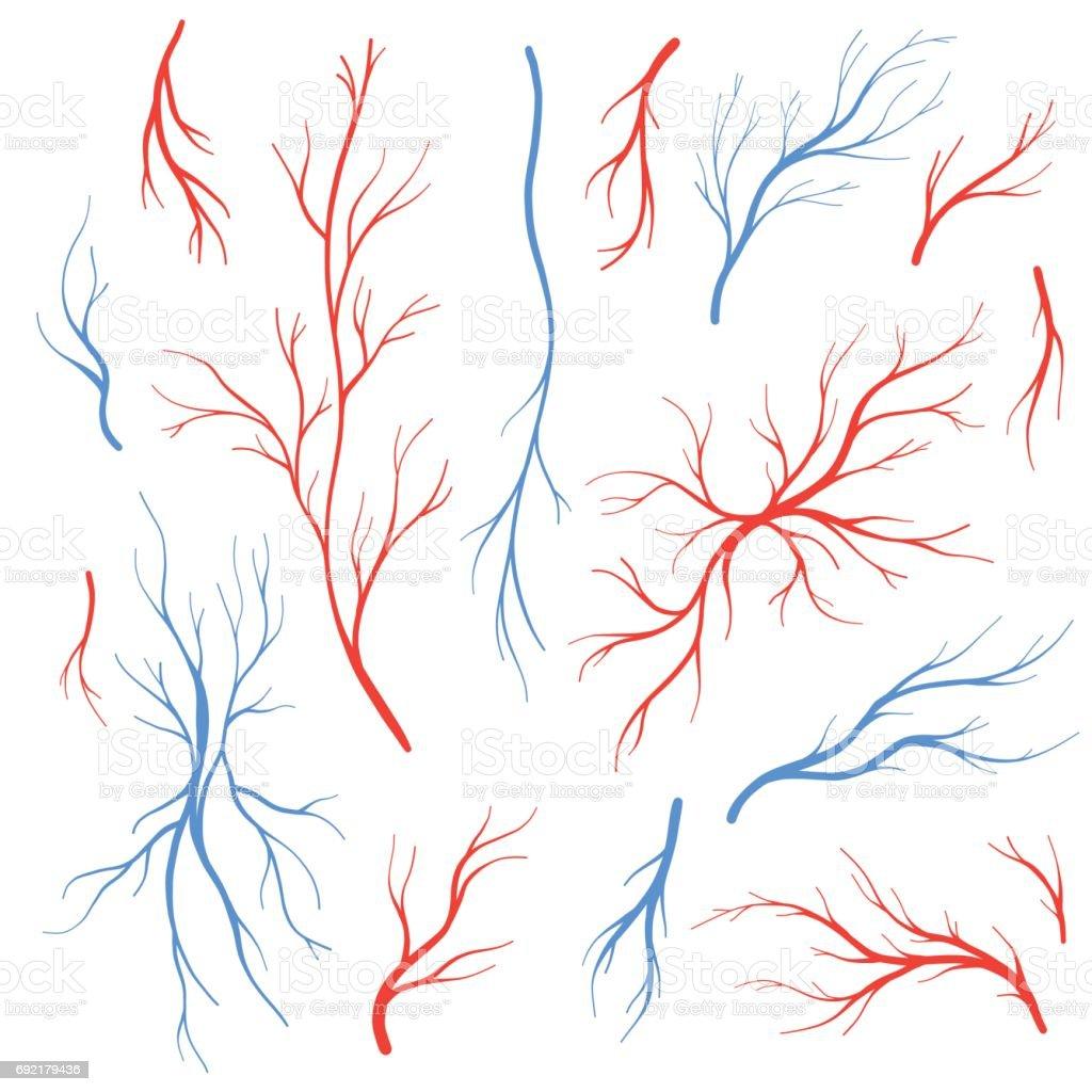 Human Blood Veins And Arteries Vector Set Stock Vector Art More