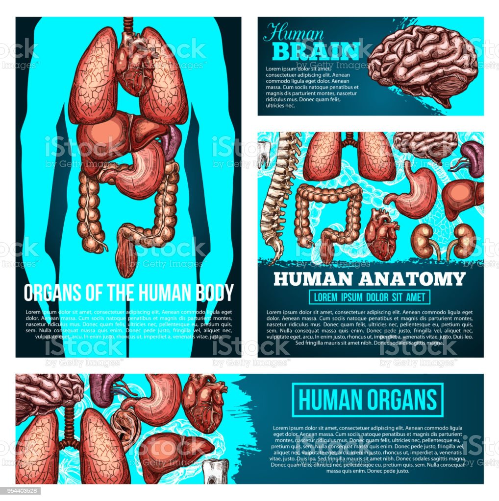 Menschlichen Körper Anatomie Banner Mit Orgel Knochenskizze Stock ...