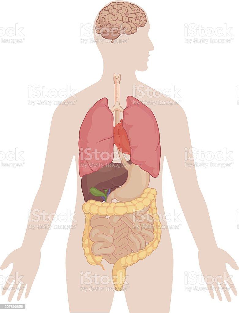 Ilustración de Cuerpo Humano Anatomía Humana Con Cerebro Los ...