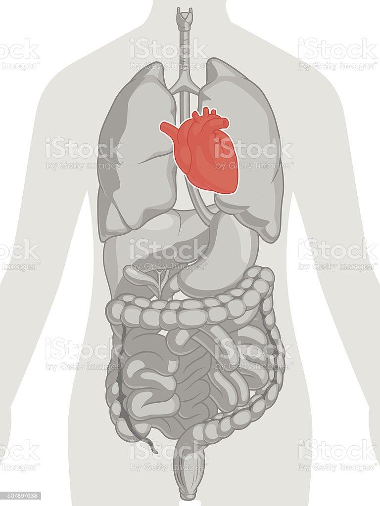 Human Body Anatomy - Heart vector art illustration