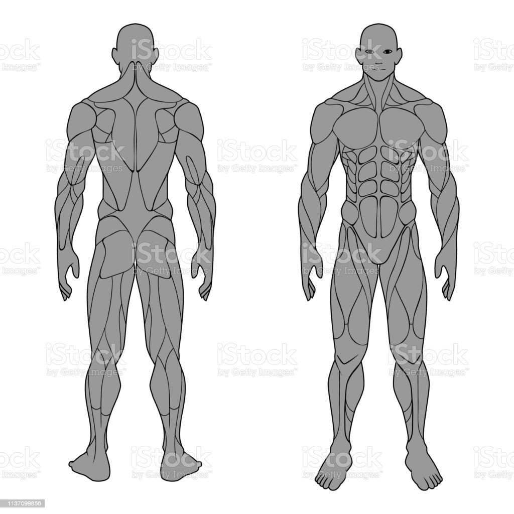 Vetores De Homem Masculino Da Anatomia Do Corpo Humano