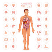 Male body and internal organs