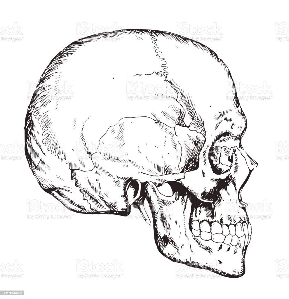 Human Body Anatomy Medical Illustration Human Bones Scull Stock ...