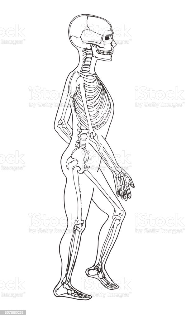 Ilustración de Anatomía Del Cuerpo Humano Ilustración Médica Huesos ...