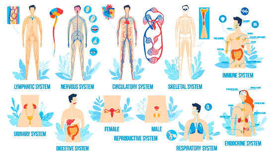 Human body anatomy, organ systems vector illustration set. Cartoon flat anatomical infographic college poster with internal respiratory, male female reproductive, lymphatic nervous endocrine system