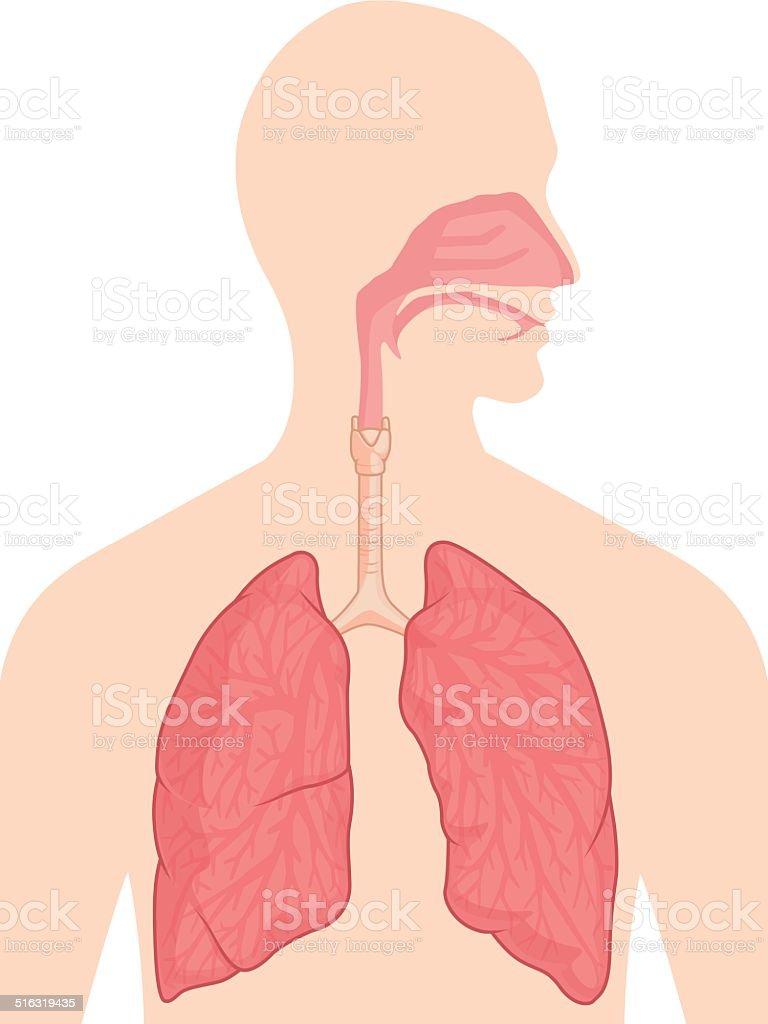 Human Body Anatomy - Respiratory System vector art illustration