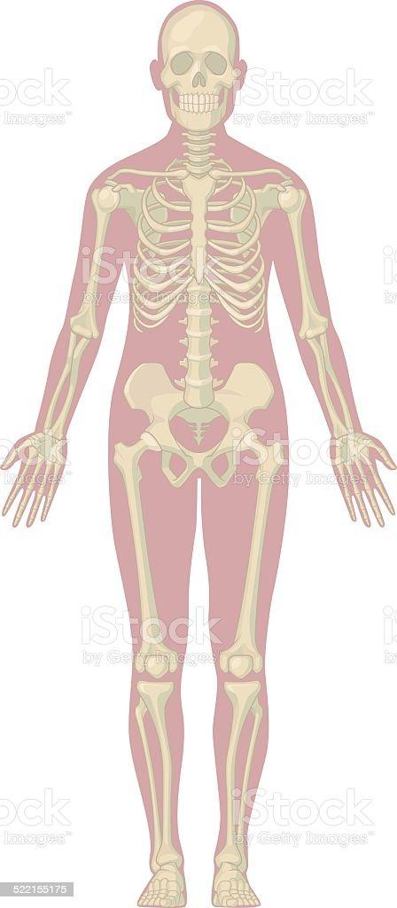Human Body Anatomy - Skeleton vector art illustration