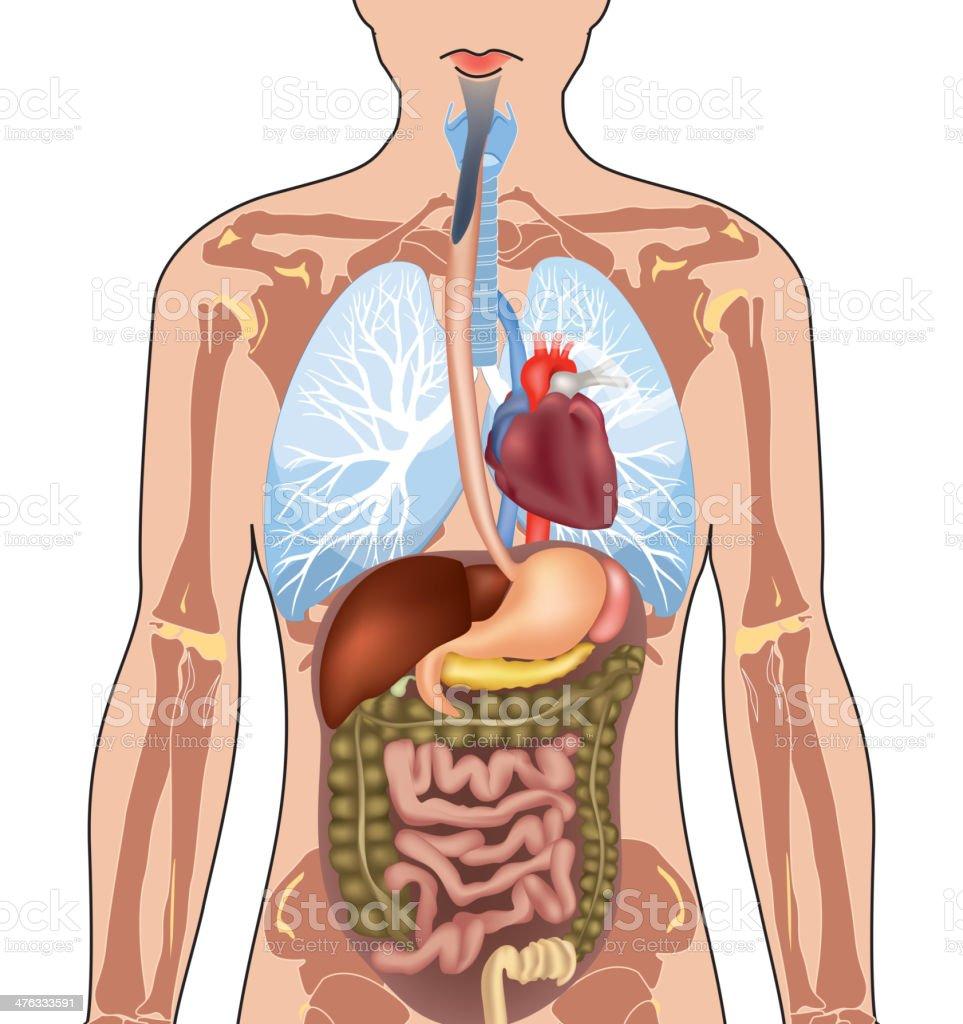 Human Body Anatomy. royalty-free human body anatomy stock vector art & more images of abdomen