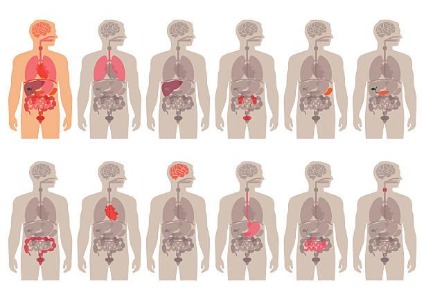 ilustraciones, imágenes clip art, dibujos animados e iconos de stock de cuerpo humano anatomía - órgano interno humano