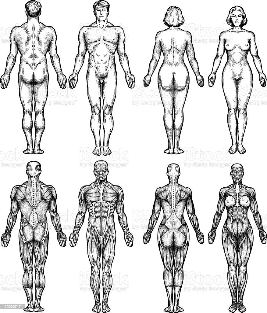 人体構造 - イラストレーションのベクターアート素材や画像を多数ご用意