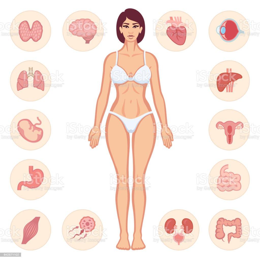Human Body Anatomy Stock Vector Art & More Images of Anatomy ...