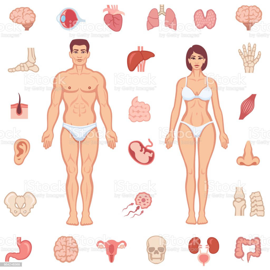 Anatomie Des Menschlichen Körpers Stock Vektor Art und mehr Bilder ...