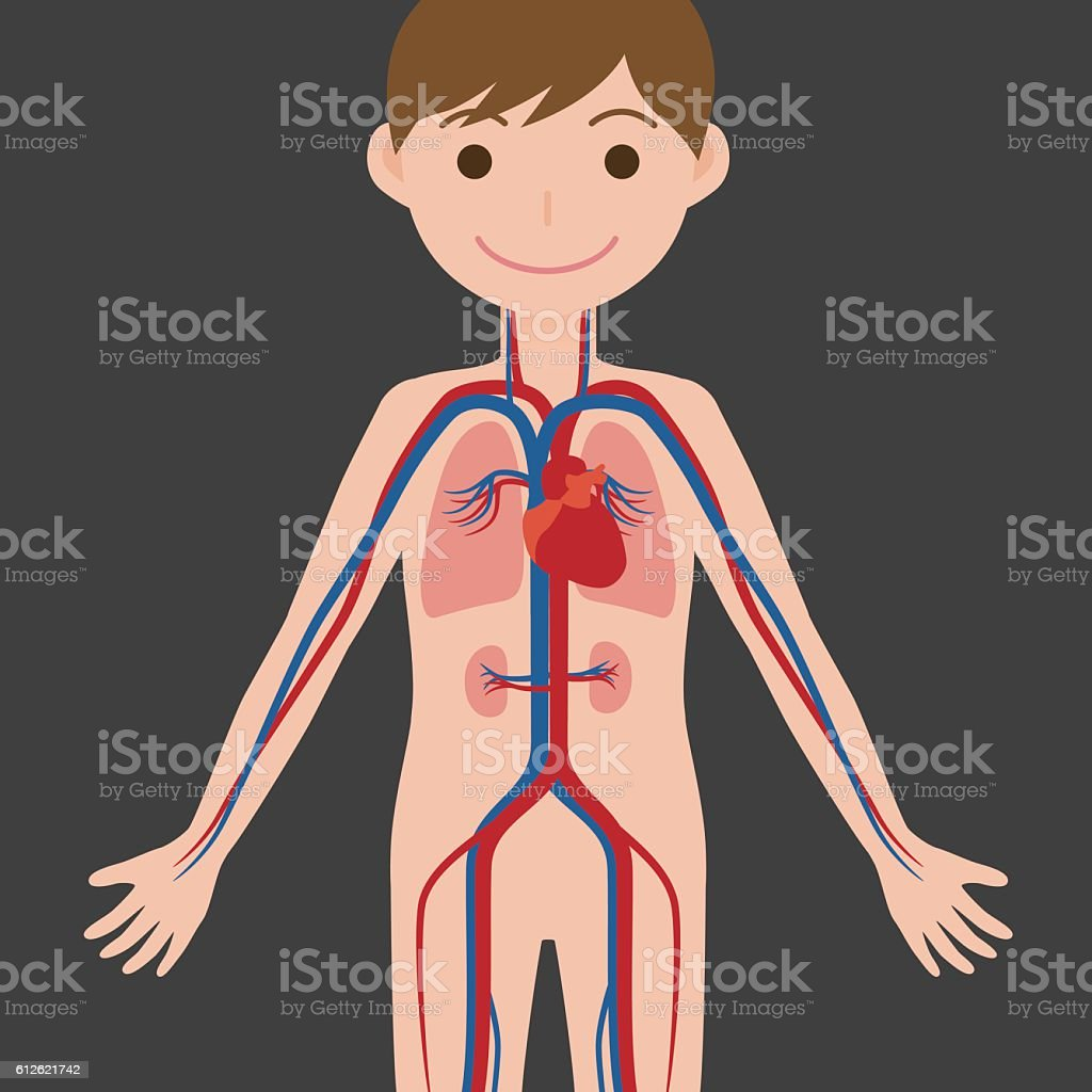 human body and circulatory system, anatomical chart vector art illustration