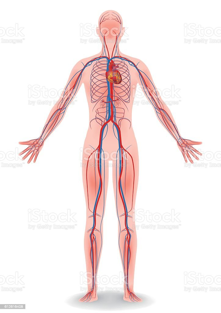 human body and circulatory system, vector diagram
