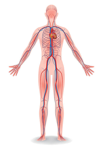 human body and circulatory system, vector diagram vector art illustration