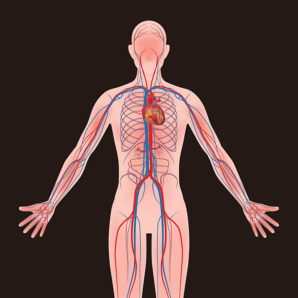 human body and circulatory system, vector diagram vector art illustration