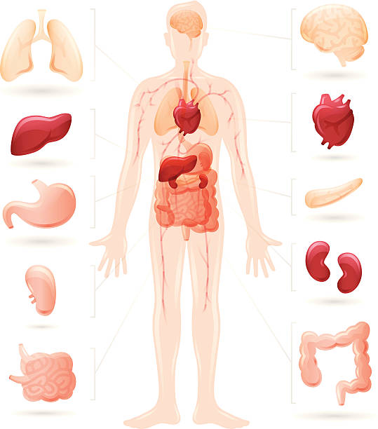 Human body and organs diagram vector art illustration