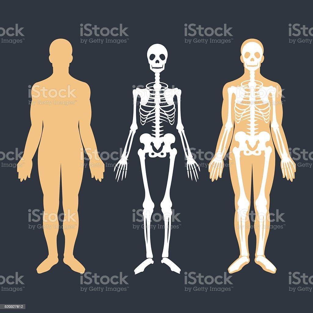 Human body and skeletal system flat illustrations set. Body, skeleton vector art illustration