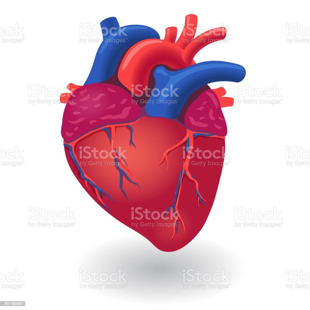 Menschlichen Körper Herz Orgel Stock Vektor Art und mehr Bilder von ...