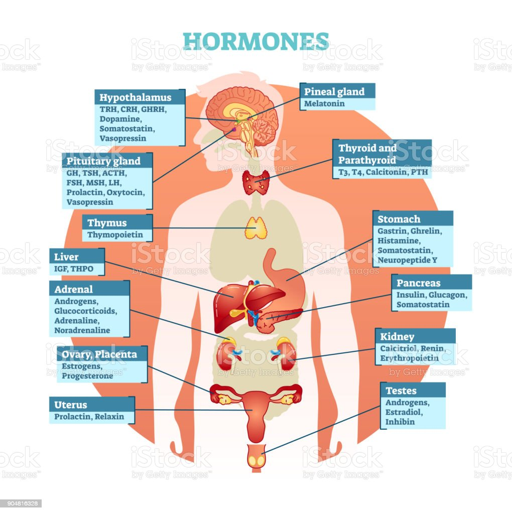 Human Body Hormones Vector Illustration Diagram Human Organ ...