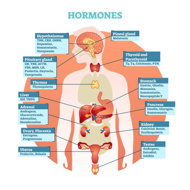 Human body hormones vector illustration diagram, human organ collection. Human body hormones vector illustration diagram, human organ collection. Educational medical information. hormone stock illustrations