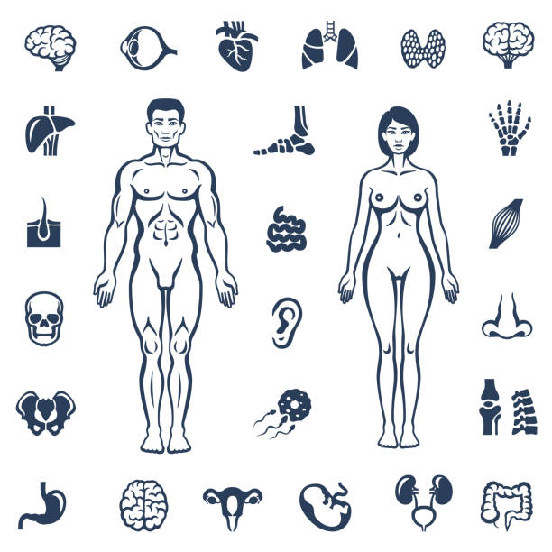 Human Body. Internal Organ Icons Human body icon set female likeness stock illustrations