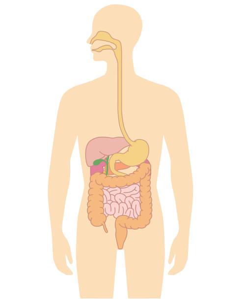 Human body internal organs illustration Human body internal organs illustration - Liver, stomach, etc. digestive system stock illustrations