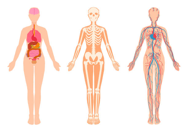 Human body internal organs, skeleton, skeletal bones, circulatory cardiovascular system. Vector illustration set isolated from the white background. female likeness stock illustrations
