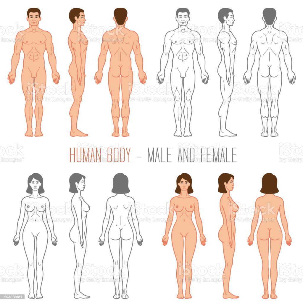 Human Body Male and Female vector art illustration