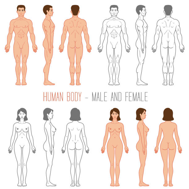 Human Body Male and Female Male and female human vector silhouettes human representation stock illustrations