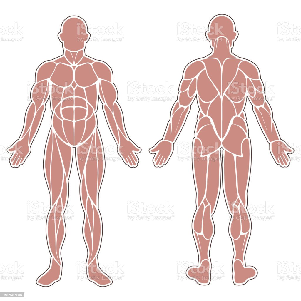 Human body muscles vector art illustration