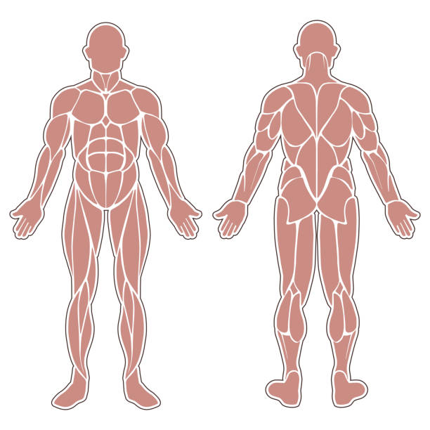 Royalty Free Pectoral Muscle Clip Art, Vector Images & Illustrations ...