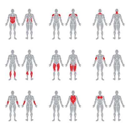 Human body muscles
