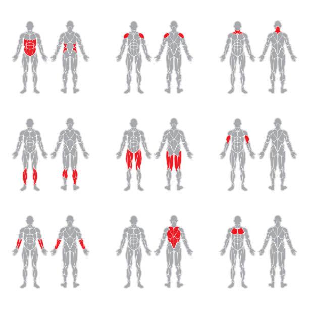 ludzkie mięśnie ciała - grupa przedmiotów stock illustrations