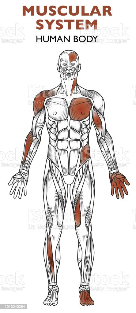 Human Body Muscular System Man Anatomy Frontal View Stock Vector Art