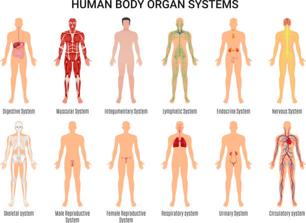 human body organ system set Main 12 human body organ systems flat educative anatomy physiology front back view flashcards poster vector illustration the human body stock illustrations