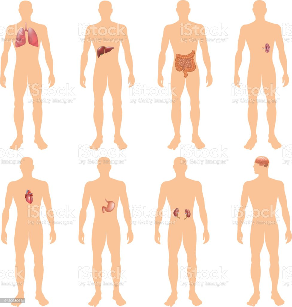 8 Human Body Organ Systems Realistic Educative Anatomy Physiology