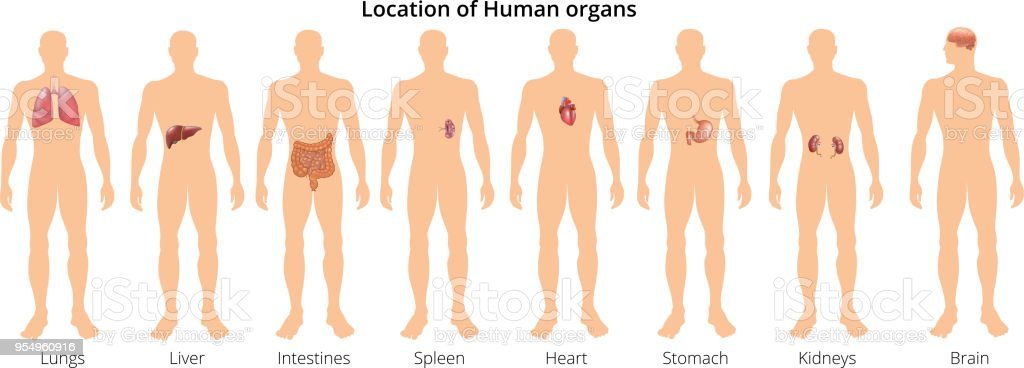 8 Human Body Organ Systems Realistic Educative Anatomy ...