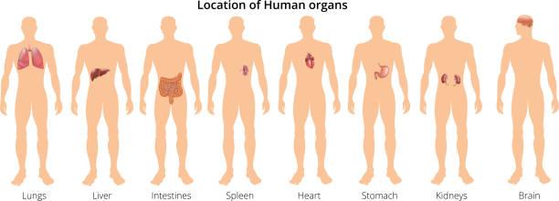8 menschliche körper organ systeme realistische erzieherische anatomie physiologie vorderseite rückansicht karteikarten plakat vektor-illustration - keks grafiken stock-grafiken, -clipart, -cartoons und -symbole